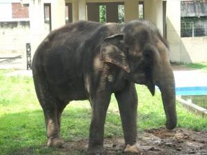 Elefante por Bruno Chaves Animais