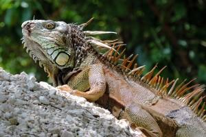 Iguana verde por Drriss & Marrionn