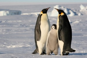Pingüino por Martha de Jong-Lantink