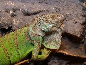 Iguana verde por Joachim S. Müller