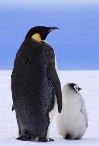 Pingüino por Anne Fröhlich