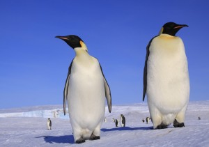 Pingüino por Anne Fröhlich (3)