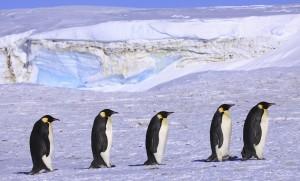 Pingüino por Anne Fröhlich (2)