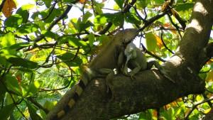 Iguana verde por cszaboads