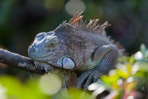 Iguana verde por Andrea Schieber