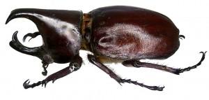 Escarabajo por Udo Schmidt