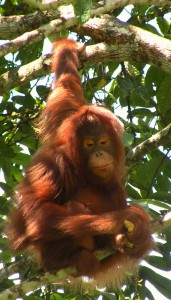 orangután por BarbicanMan
