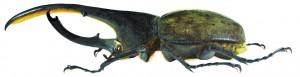 Escarabajo por Udo Schmidt (2)