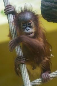 orangután por Tambako The Jaguar