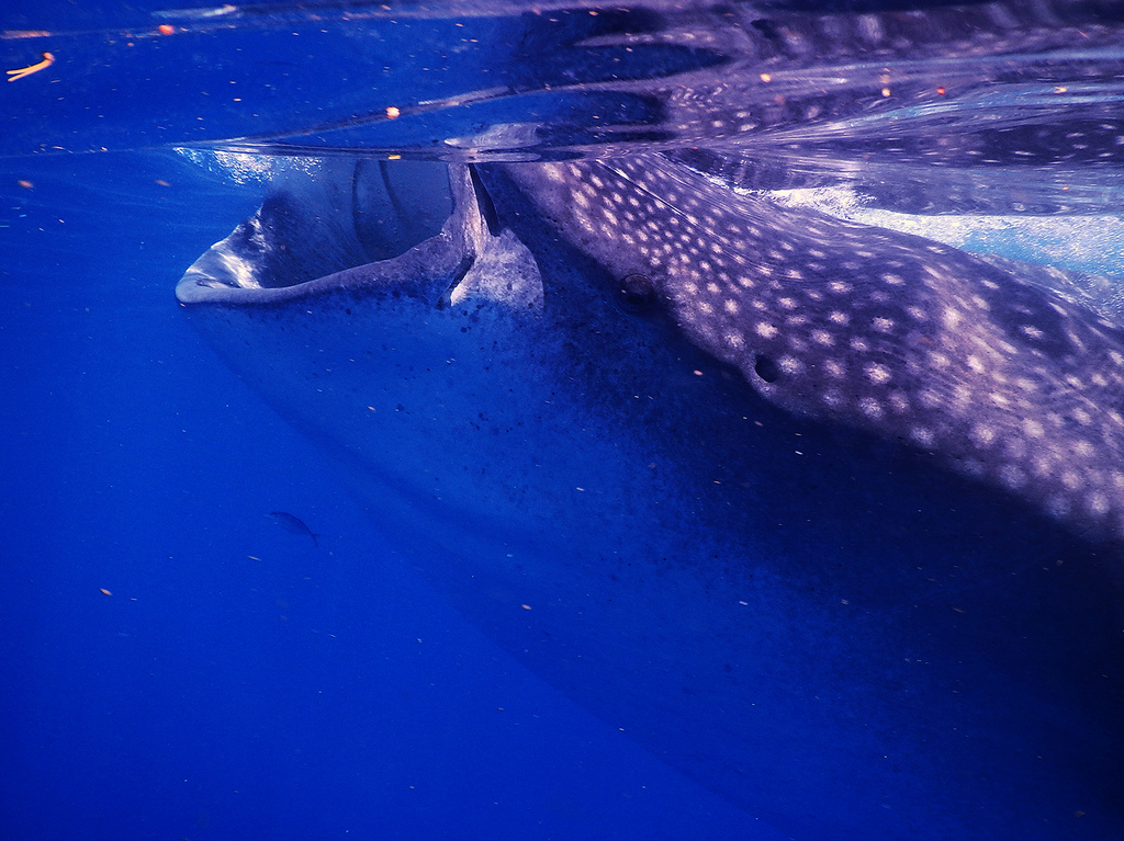 Tiburón ballena por Lara Danielle