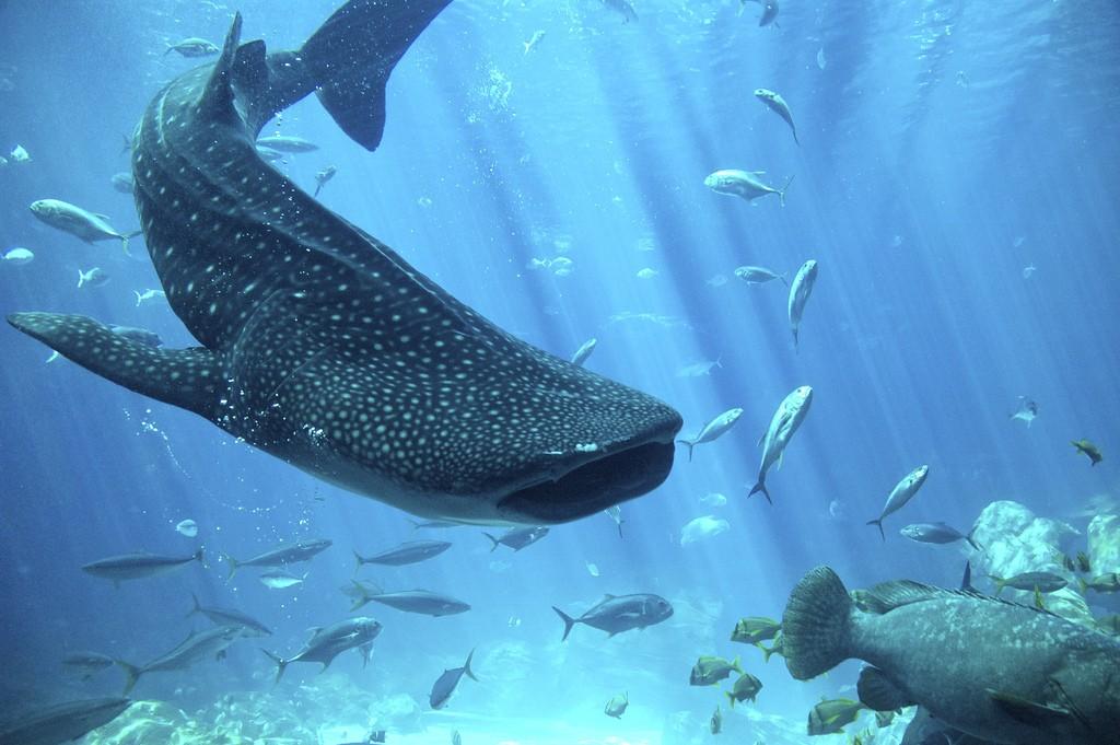 Tiburón ballena por Justin Henry