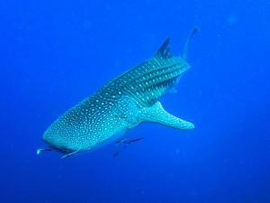 Tiburón ballena por Paul