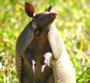 Armadillo por Florida Fish and Wildlife