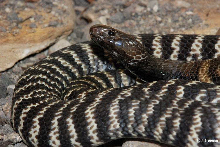 Western Barred Spitting Cobra ~ Naja Nigricollis Nigricincta