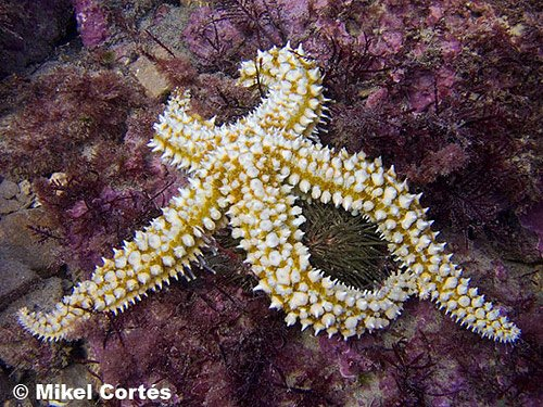 Estrella mar espinosa por Mikel Cortés