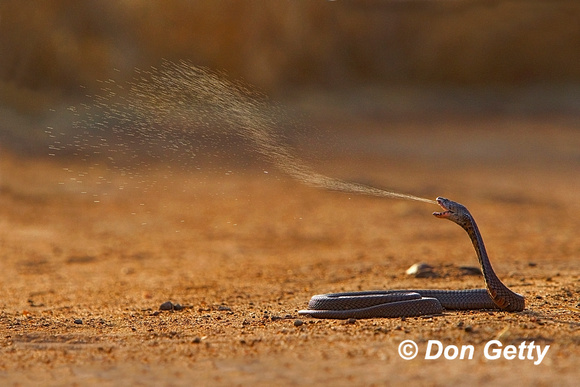 Black Necked Spitting Cobra,  Naja nigricollis