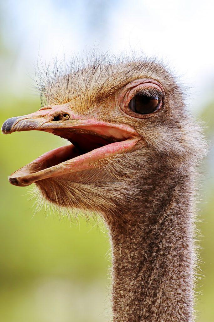 Avestruz por petaqui